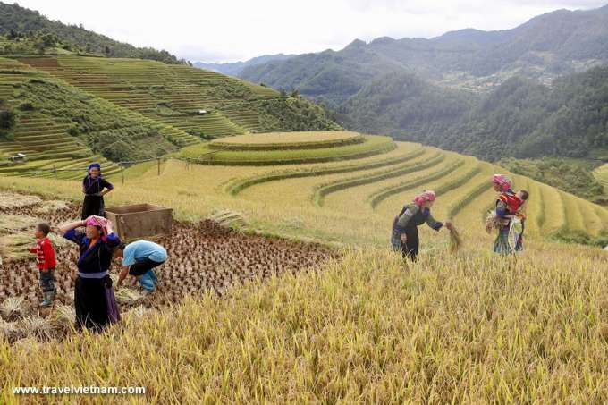 Harvesting rice on terrace field