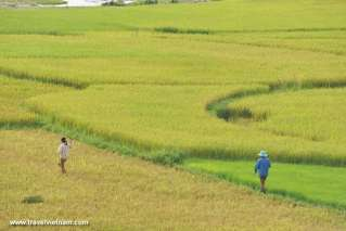 Dien Bien in golden rice season