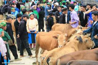 Cow market in Ha Giang