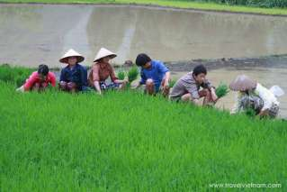 Transplanting rice in Ha Giang