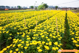 Tay Tuu flower field_11