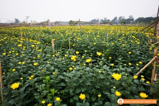 Tay Tuu flower field_14