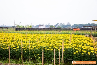 Tay Tuu flower field_2