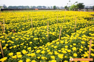 Tay Tuu flower field_3