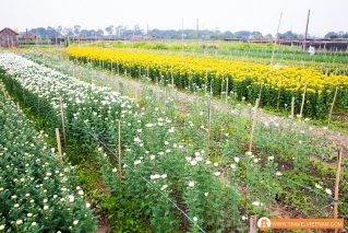 Tay Tuu flower field_5