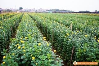 Tay Tuu flower field_6