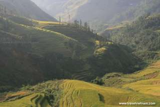 The golden rice season in Sapa